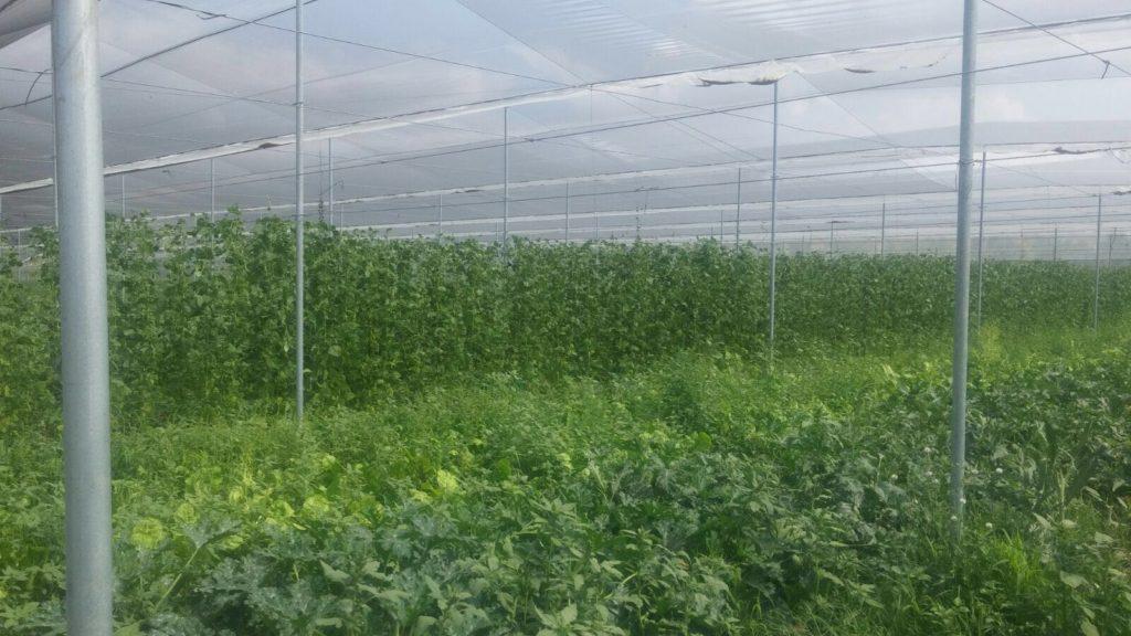 riego con ozono en agricultura